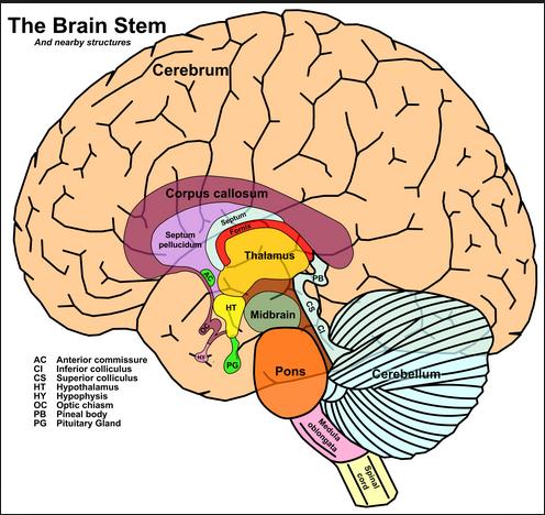 brain stem navy